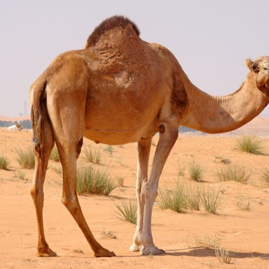 GCC camel dairy market worth over USD 427 million