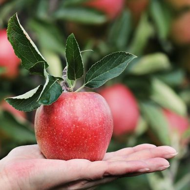 MENA import of French apples grew by over 16 percent in 2020